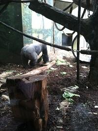 Lincoln Park Zoo Gorilla